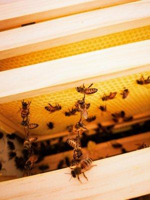bičių šokiai