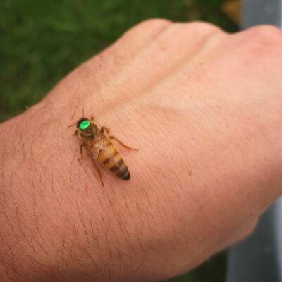 įkurtuvės bičių motinele